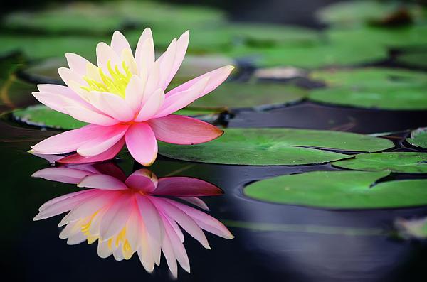 Horizontal Photograph - Water Lily In Lake by Anakin Tseng