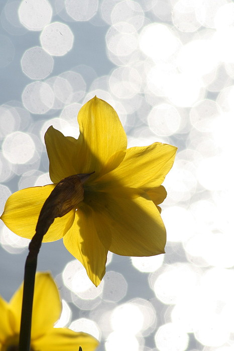 Skagit Valley Photograph - Water Reflected Daffodil by Karla DeCamp