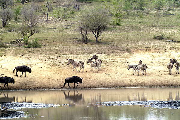 Zebra Photograph - Watering Hole by Charles  Ridgway