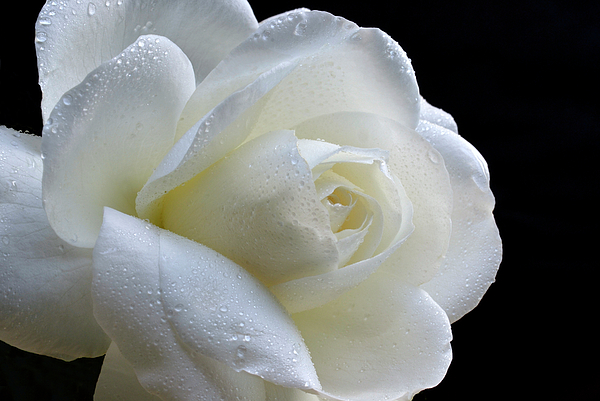 Rose Photograph - Wet Beauty. by Terence Davis