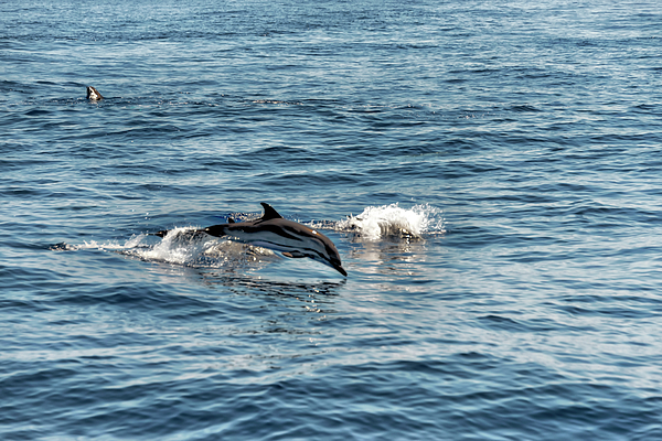 Mare Photograph - Whale Watching And Dolphins 1 by Enrico Pelos