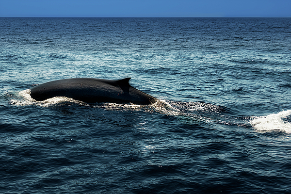 Mare Photograph - Whale Watching Balenottera Comune 6 by Enrico Pelos