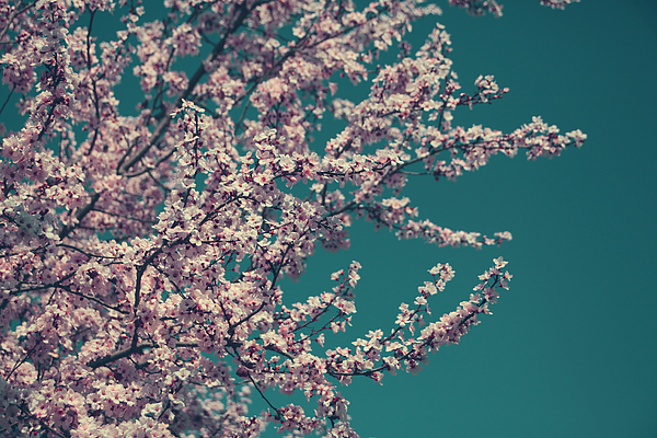 Cherry Blossom Tree Photograph - What This New Life Will Bring by Laurie Search