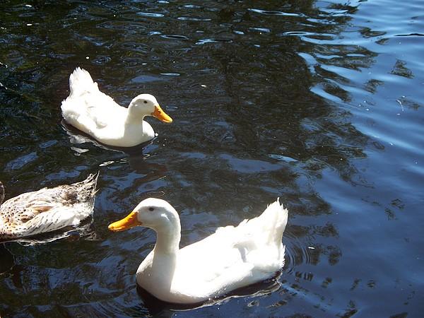 Ducks Photograph - Which Way Do We Go by Rosanne Bartlett