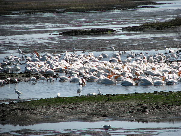 Pelicans Photograph - White Birds In Paradise by Libby  Cagle