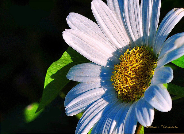 White Daisy Photograph by William Lallemand