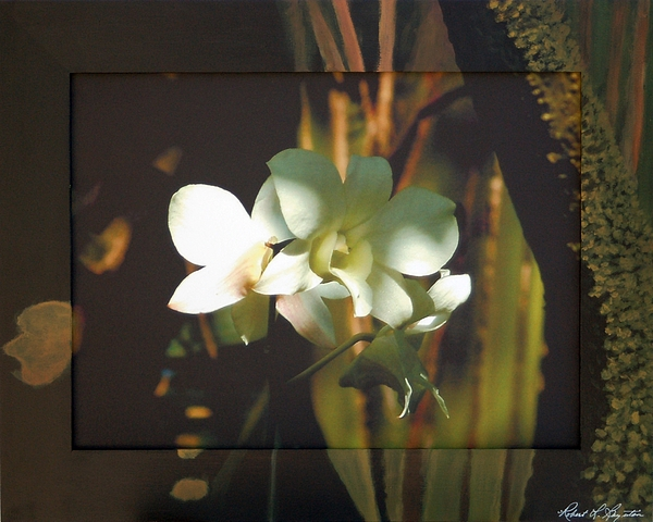 Orchid Mixed Media - White Dendrobia by Robert Boynton