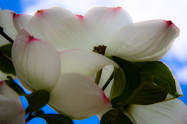Floral Photograph - White Dogwood Flower by David Patterson