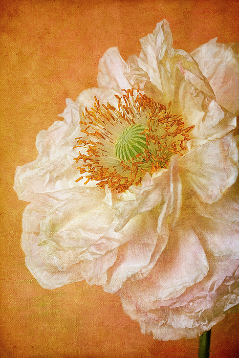 Vertical Photograph - White Double Poppy by © Leslie Nicole Photographic Art