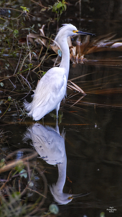 White Egret Photograph - White Egret And Reflection by Peg Runyan