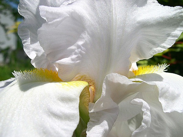 Photograph Photograph - White Iris-close Up by Addie Hocynec