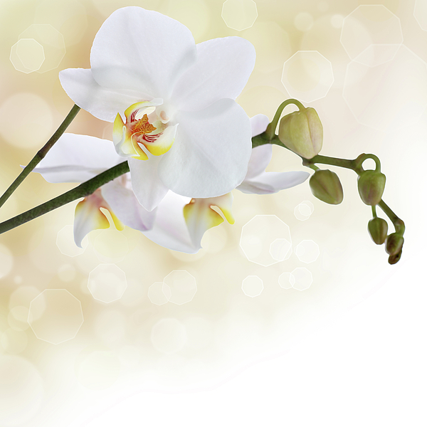 White Orchid Flower Photograph By Pics For Merch