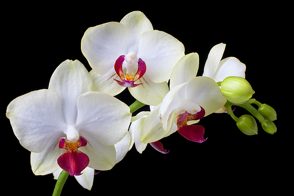 White Orchids Photograph - White Orchids by Garry Gay