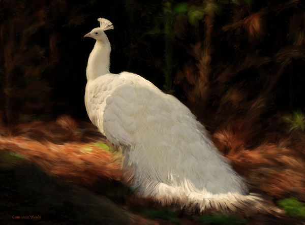Peacock Painting - White Peacock In Golden Hour by Constance Woods