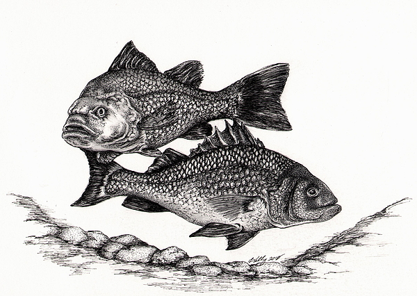 Perch Drawing - White Perch by Kathleen Kelly Thompson