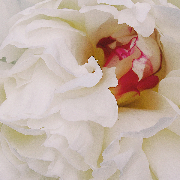 Peonies Photograph - White Petals by Michael Peychich