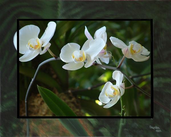 Orchid Mixed Media - White Phaleanopsis by Robert Boynton