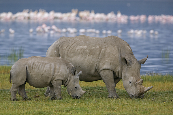 Mp Photograph - White Rhino Mother And Calf Grazing by Ingo Arndt