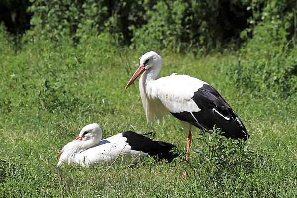 Bird Photograph - White Storks by Teresa Zieba