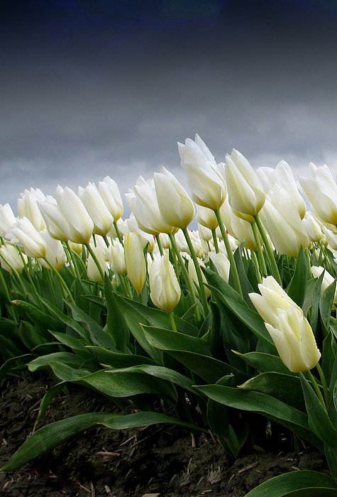 White Tulips Photograph - White Stormy Tulips by Karla DeCamp