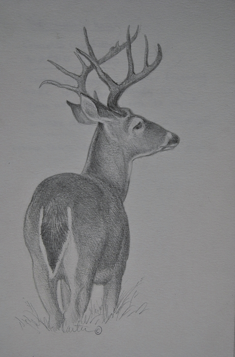 Antlers Drawing - White-tail Deer Sketch. by Calvin Carter