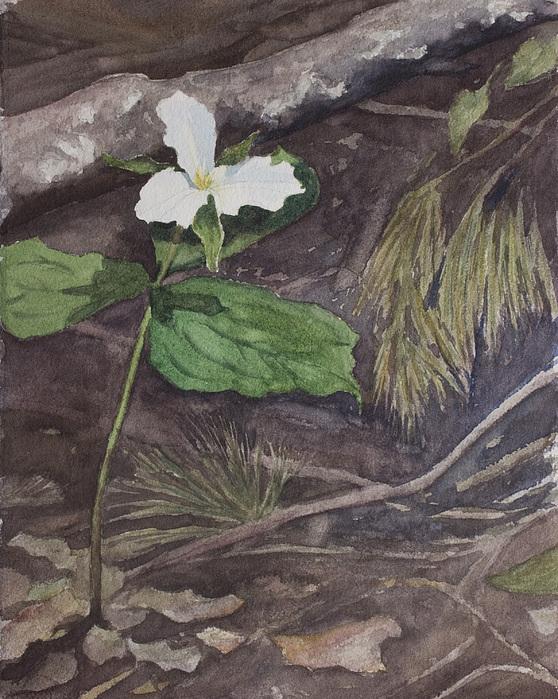 White Trillium Painting - White Trillium  by Debbie Homewood