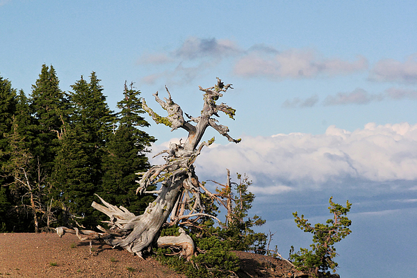 Pines Photograph - Whitebark Pine At Crater Lakes Rim - Oregon by Christine Till