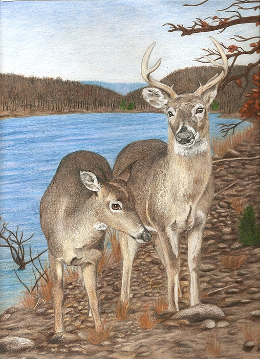 Whitetail Deer At Lake Wilson Drawing By Courtney Trimble
