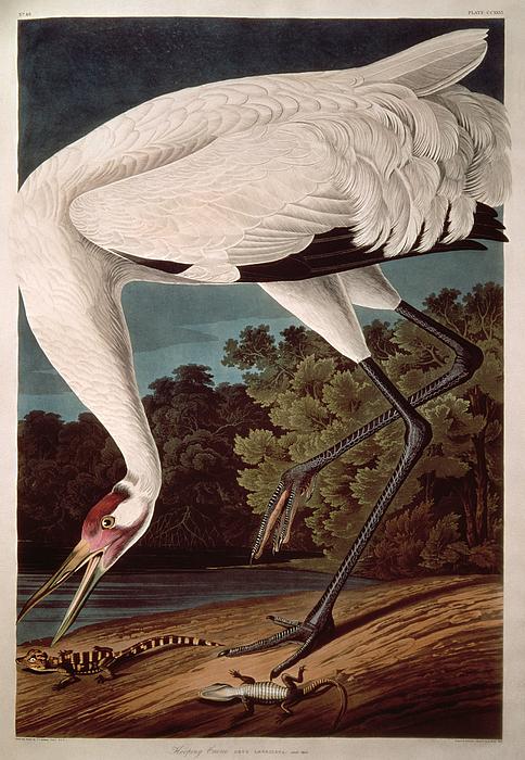 Crane Painting - Whooping Crane by John James Audubon