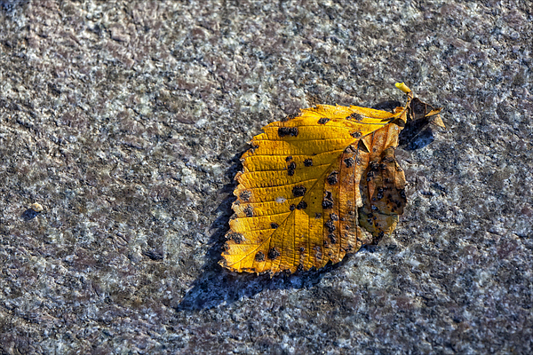 Leaf Photograph - Why We Call It Fall by Robert Ullmann