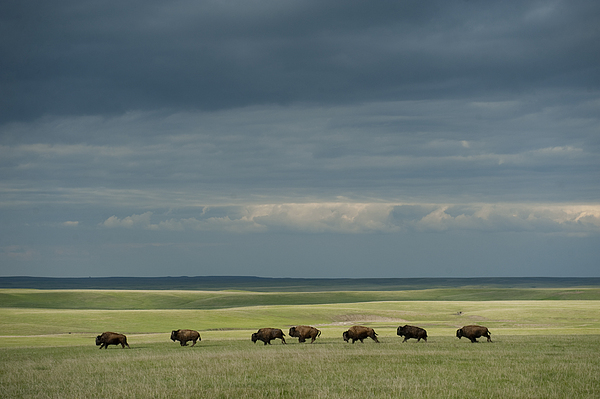Outdoors Photograph - Wild American Bison Roam On A Ranch by Joel Sartore