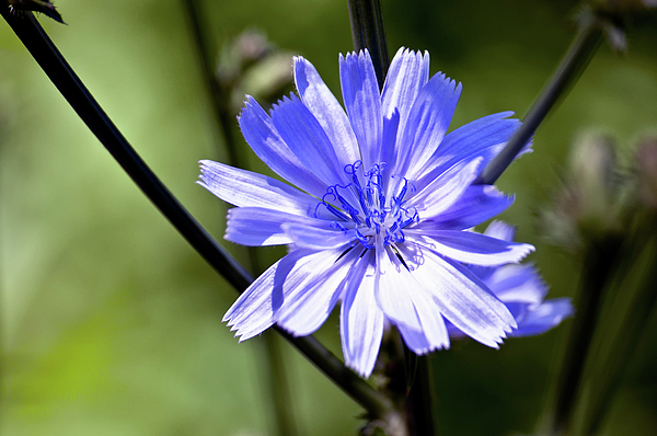Wild Chicory Photograph - Wild Chicory by Ross Powell