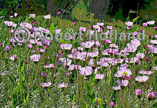 Wildflowers Digital Art - Wild Flowers 1 by Robert Hofland