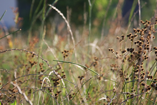 Wild Grass And Burrs