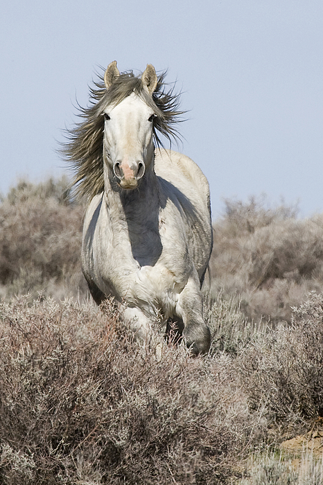Wild Horse Photograph - Wild Grey Stallion Runs Close by Carol Walker