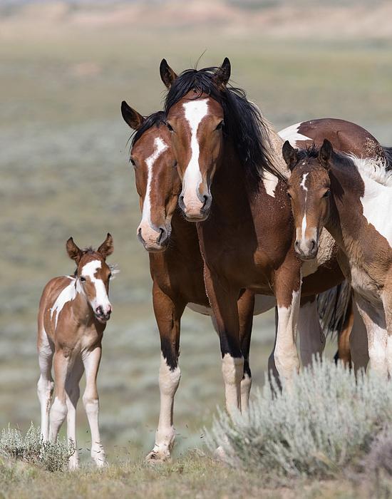 Pinto Photograph - Wild Pinto Family by Carol Walker