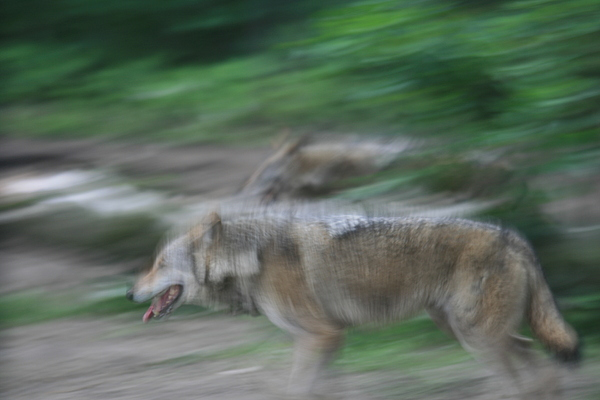 Wolves Photograph - Wild Runners by Marta Grabska