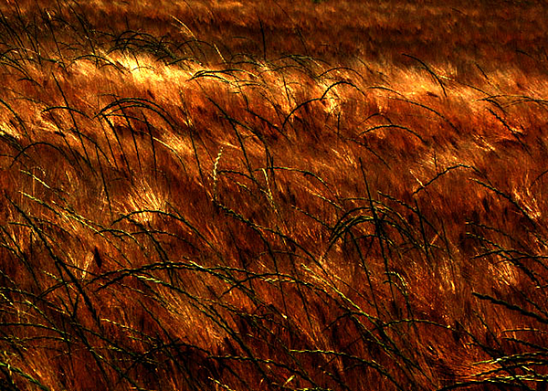 Grass Photograph - Windblown by Jessica Brawley