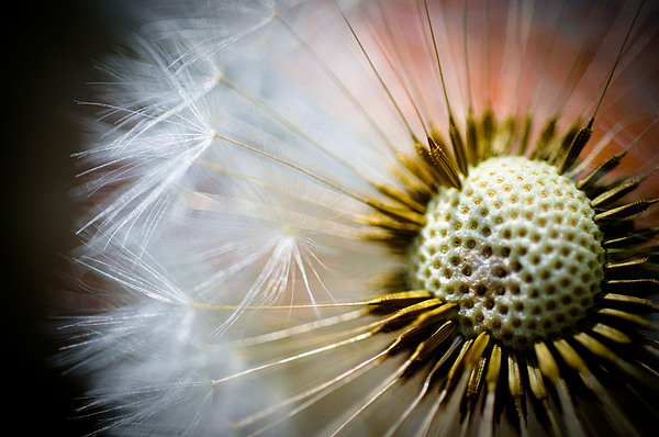 Dandelion Photograph - Windswept by Pat Shawyer