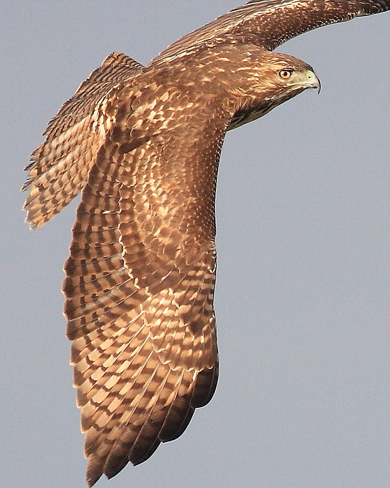 Red Tail Hawk Photograph - Wings Of A Red Tailed Hawk by Wingsdomain Art and Photography