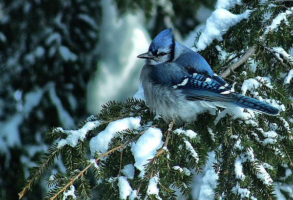 Blue Jay Photograph - Winter Blue Jay by Andrew Oliver