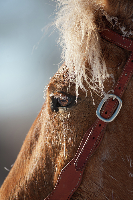Horse Photograph - Winter Mustang Eye by Shawn Hamilton