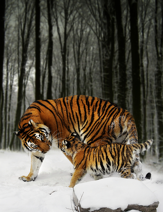 Tiger Digital Art - Winter Stroll by Julie L Hoddinott