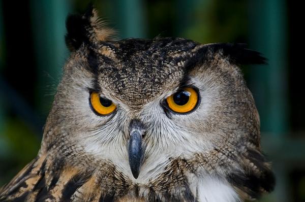 Owl Photograph - Wisdom by Joy Powell