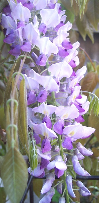 Wisteria Photograph - Wisteria by Jean Booth