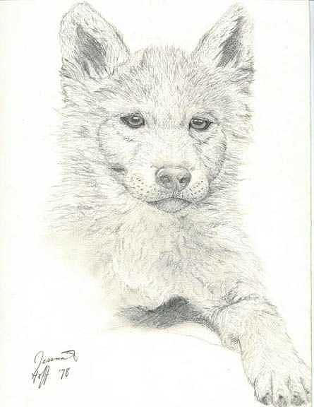Wolf Pup Drawing by Jesska Hoff