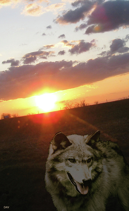 Wild Wolf Photograph - Wolf Sunset by Debra     Vatalaro