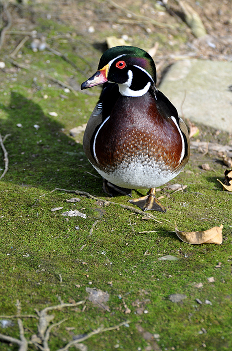 Birds Photograph - Wood Duck On Moss by Jan Amiss Photography