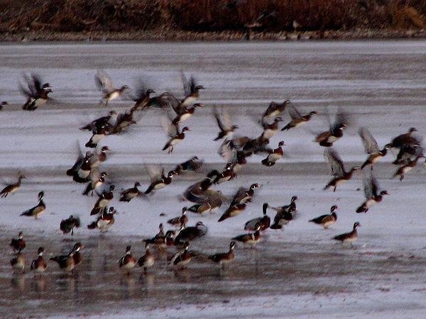 Wood Ducks Photograph - Wood Ducks by Athena Ellis