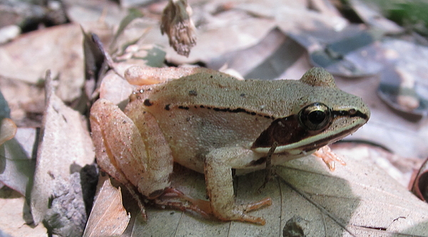Wood Frog  Photograph by Joshua Bales